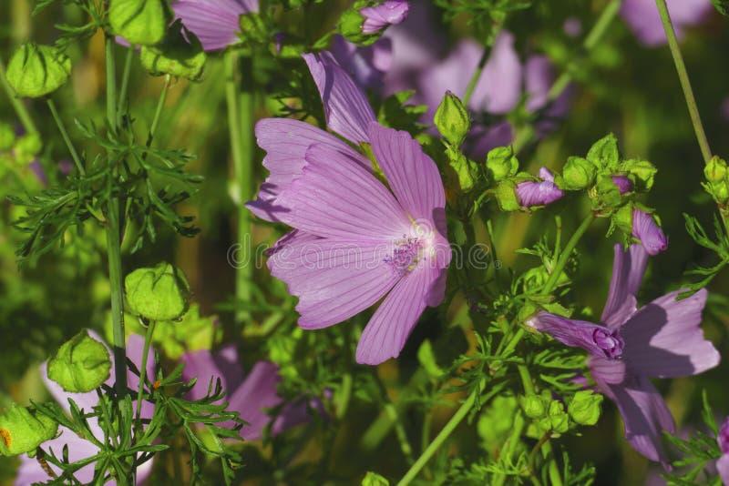 Malva di muschio, fiori nella natura, su un prato di estate fotografia stock libera da diritti