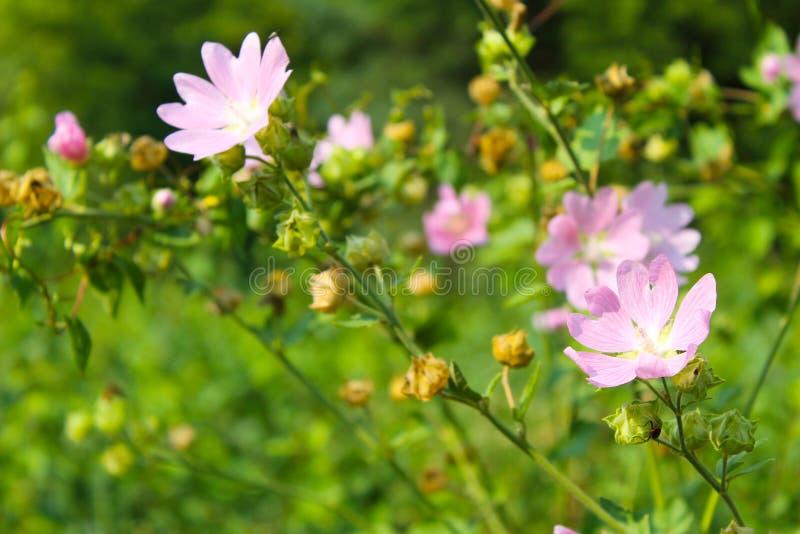 Download Malva för lösa rosa färger arkivfoto. Bild av äng, bostonian - 76701732