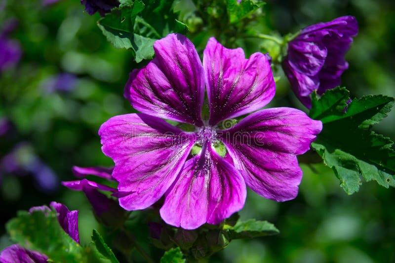 Malva floreciente violeta oscura fotografía de archivo libre de regalías