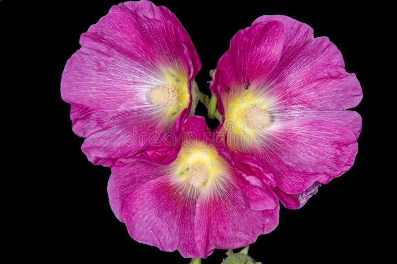 Malva, pianta medicinale con le gocce di pioggia fotografia stock libera da diritti