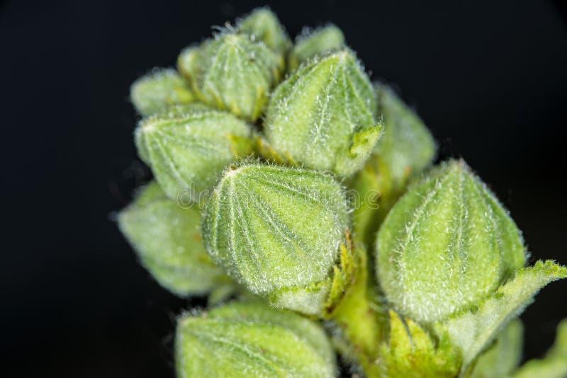 Malva, planta medicinal fotos de archivo libres de regalías