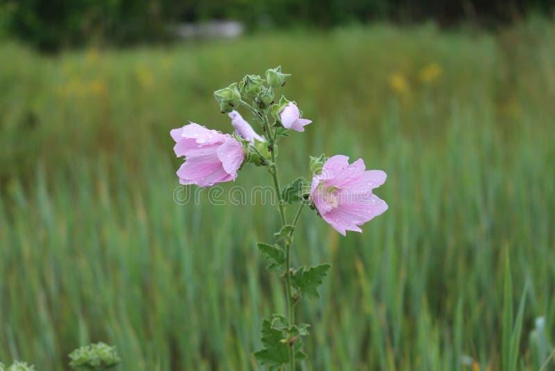 Malva rosa che fiorisce nel prato immagini stock libere da diritti