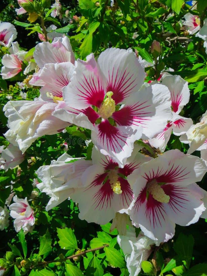 Malva rosa um arbusto bonito descontroladamente de crescer flores cor-de-rosa do Malva foto de stock