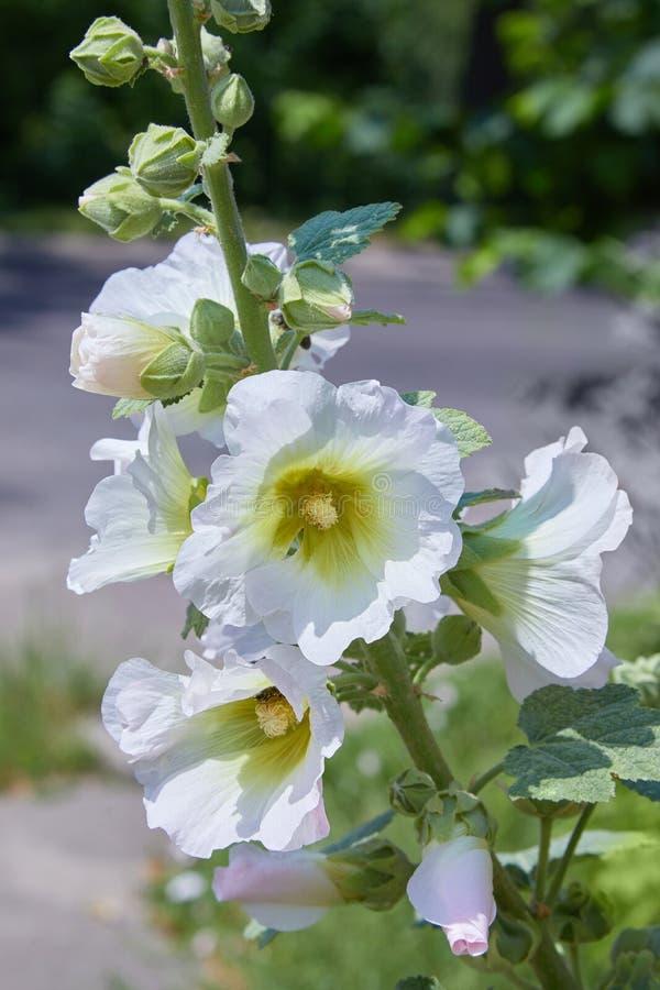 Malva Silvestris Alcea de floraison de Malva de mauve de musc image libre de droits