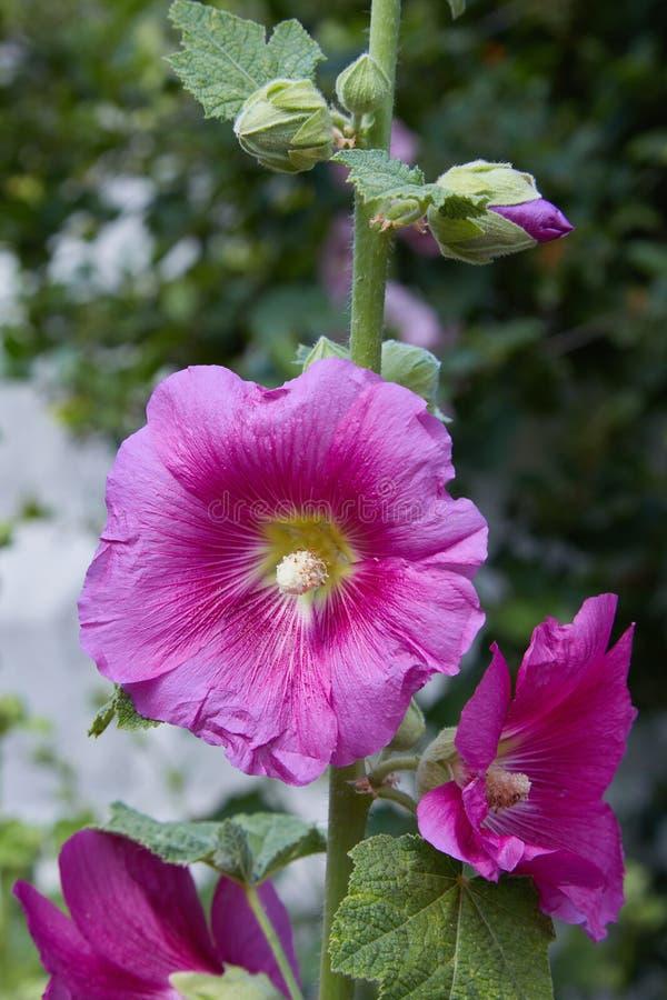 Malva Silvestris Alcea de floraison de Malva de mauve de musc photo stock