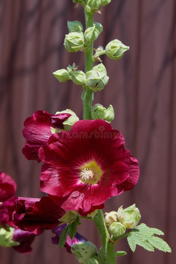 Malva Silvestris Alcea de floraison de Malva de mauve de musc photos stock