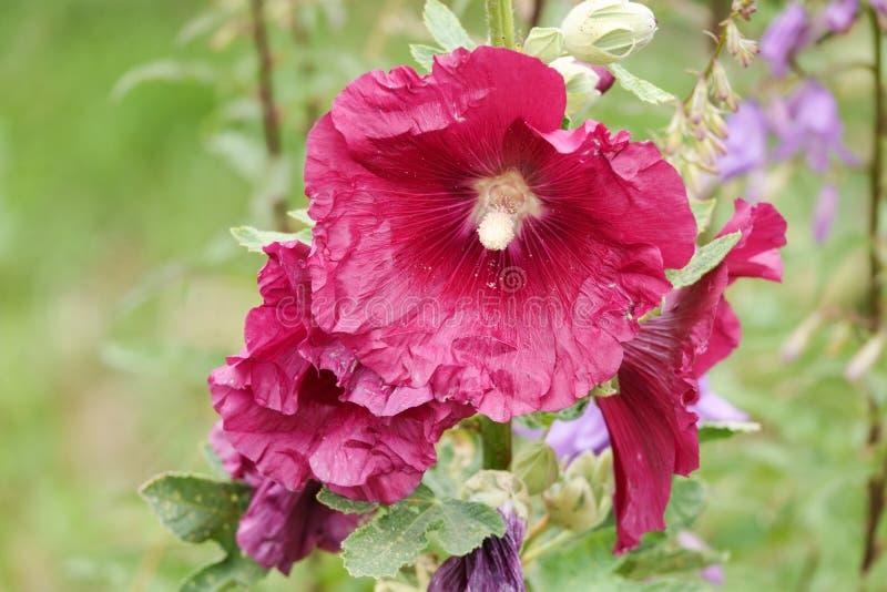Malva Silvestris Blomma alceaen för Malva för myskmalva, denleaved malvan, vervainmalvan eller stockrosmalvan royaltyfria foton