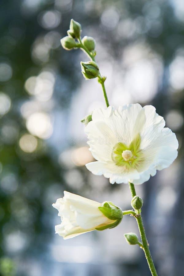 Malva Silvestris Het bloeien Malva van de muskusmalve alcea, besnoeiing-leaved malve, stock foto