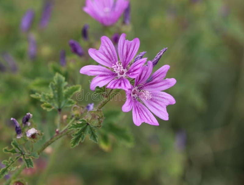 Malva sylvestris, algemene namen zijn gemeenschappelijke malve, kazen, hoge malve of lange malve, die in de zomer bloeien stock foto