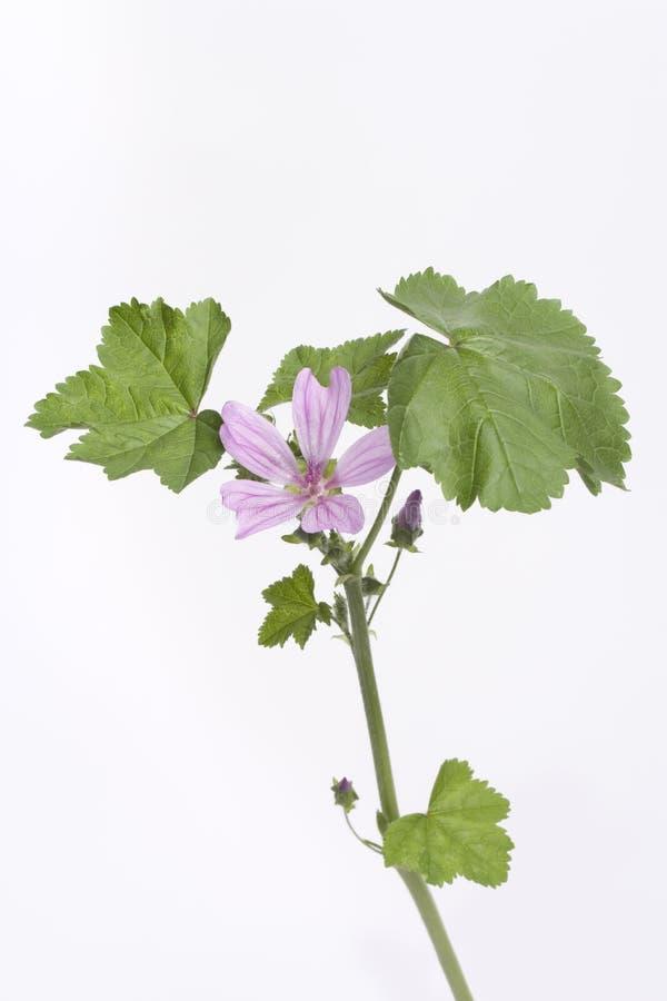 Malva Sylvestris With Lilac Flower stock image