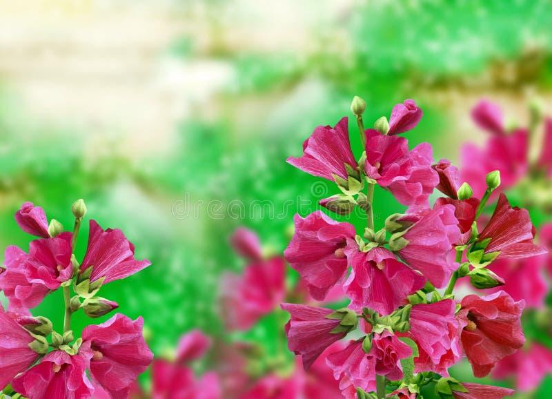 Malvablommor Rosa blommor royaltyfri foto