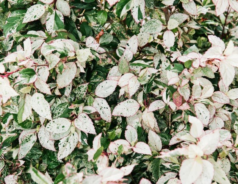 Malvaceaen för den Rosa sinensishibiskusen lämnar busken i trädgård arkivbilder