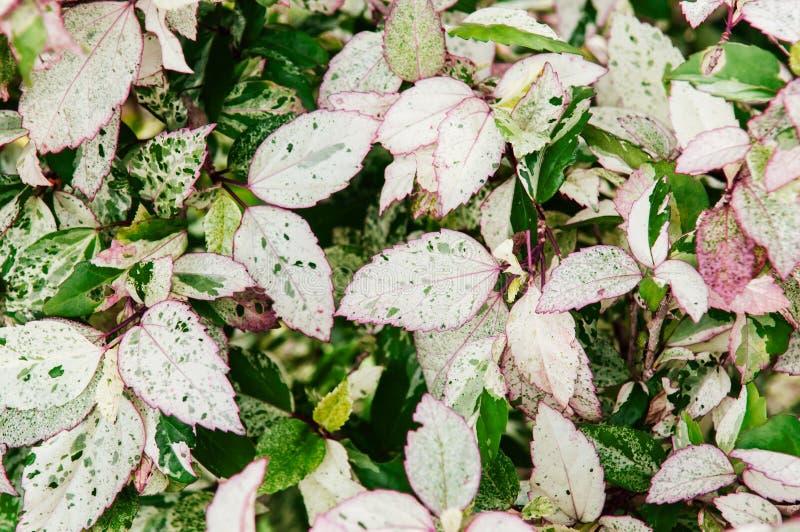 Malvaceaen för den Rosa sinensishibiskusen lämnar busken i trädgård fotografering för bildbyråer