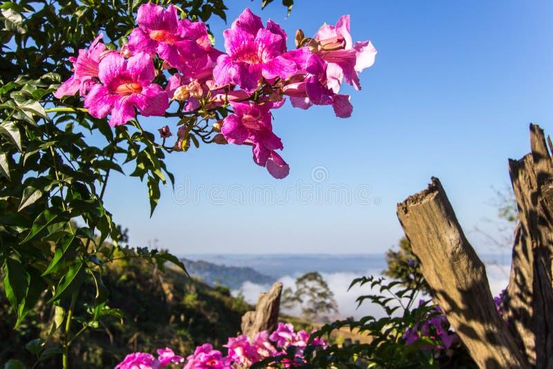 Malvas rosas cor-de-rosa com o mar da névoa em Khao Kho, província de Phetchabun, Tailândia do norte foto de stock