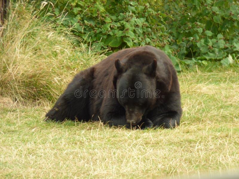 MAMÁ BEAR HAVING A SNACK fotografía de archivo