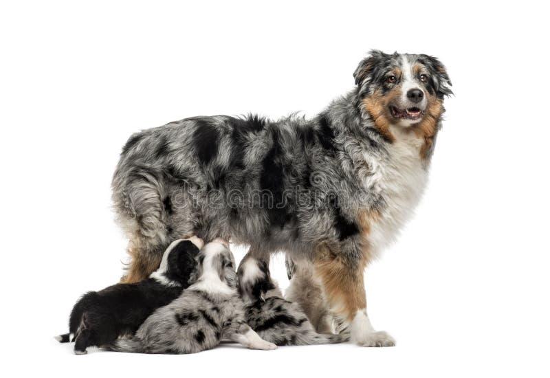 Mamá criada en línea pura y sus perritos del híbrido aislados en blanco fotografía de archivo