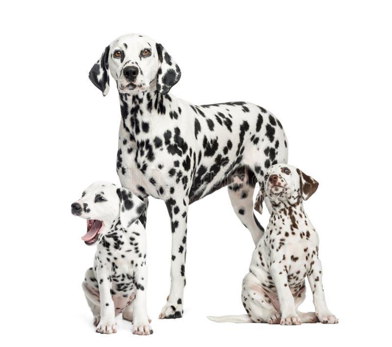Mamá dálmata y perritos, aislados en blanco imágenes de archivo libres de regalías