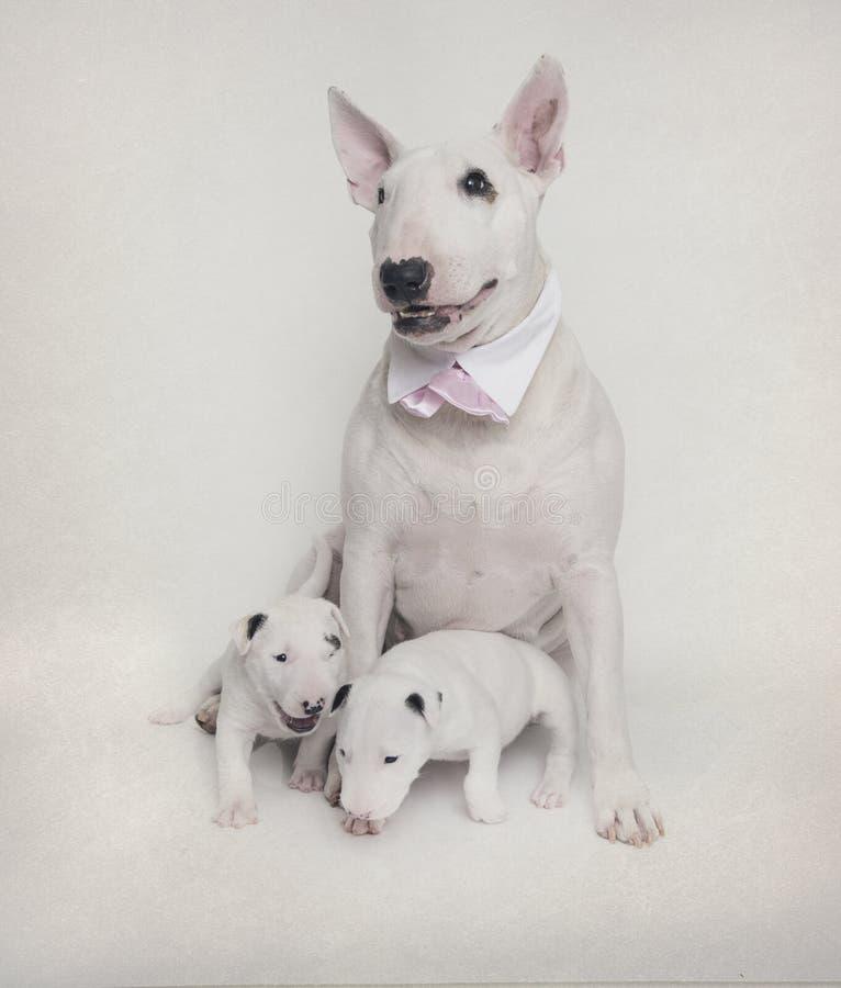 Mamá de bull terrier que presenta con sus bebés foto de archivo libre de regalías