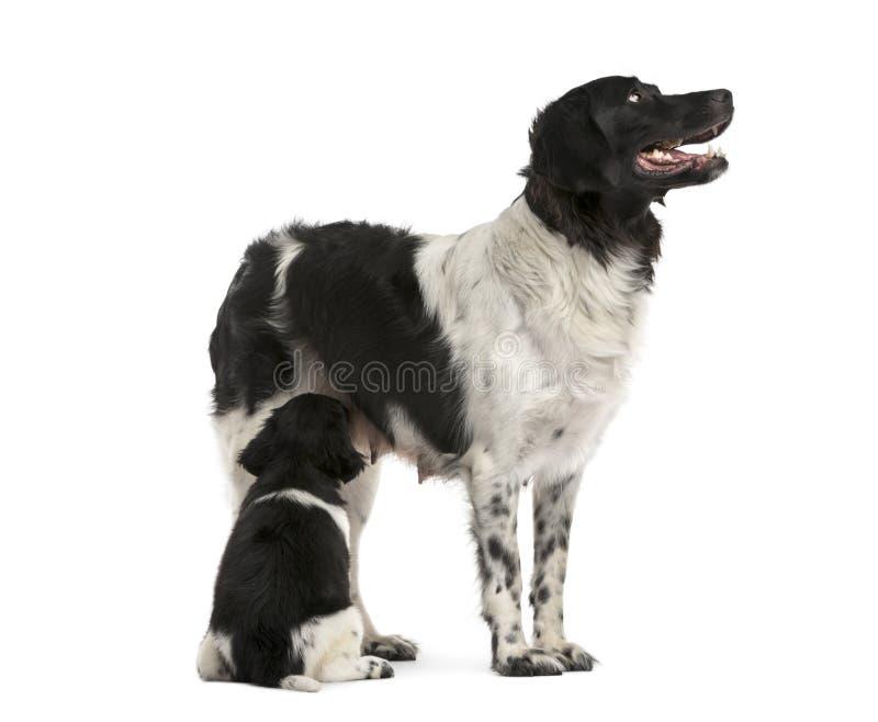 Mamá de Stabyhoun que amamanta su perrito, aislado imagenes de archivo