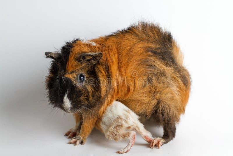 Mamá del conejillo de Indias con el perrito imagenes de archivo