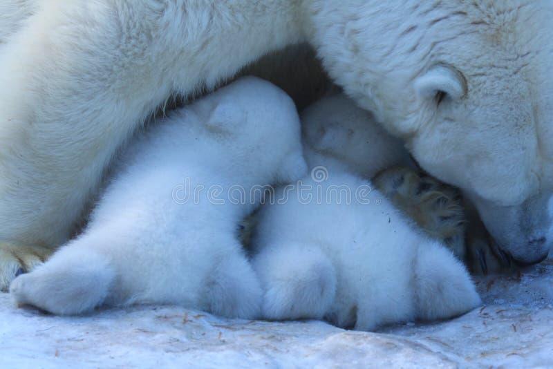 Mamá del oso polar con los gemelos fotografía de archivo
