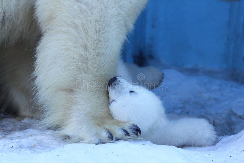 Mamá del oso polar con los gemelos foto de archivo libre de regalías