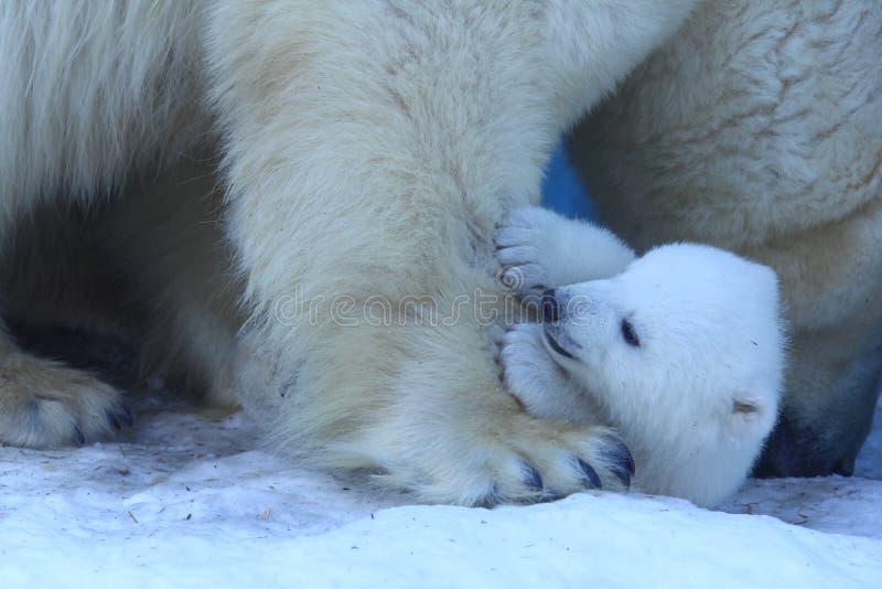 Mamá del oso polar con los gemelos imagen de archivo libre de regalías