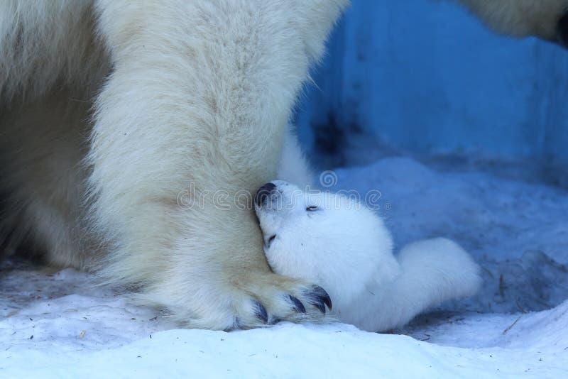 Mamá del oso polar con los gemelos foto de archivo
