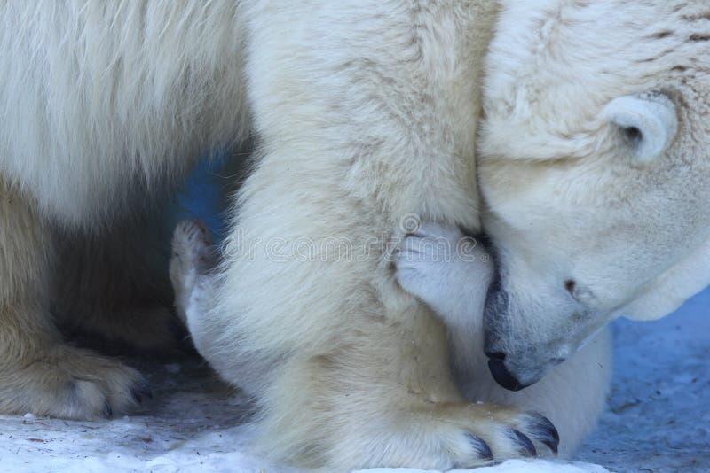 Mamá del oso polar con los gemelos fotos de archivo libres de regalías