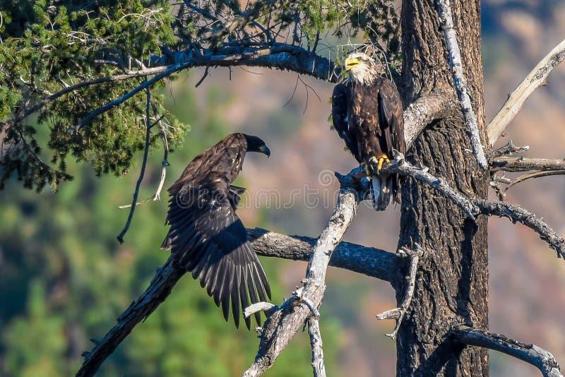 Mamá del ` usted acaba de caer mi vista rara Eagle calvo americano del ` de los pescados en la serie de California meridional imagen de archivo libre de regalías