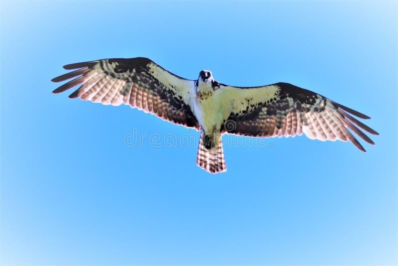 Mamá Osprey en vuelo imagenes de archivo