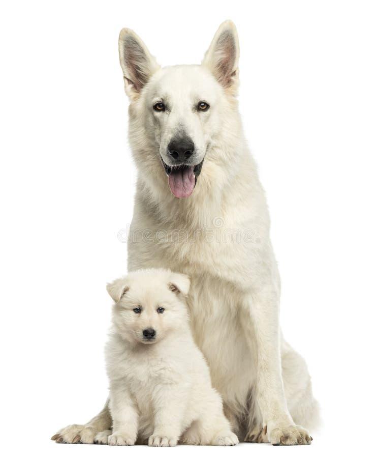 Mamá suiza blanca del pastor con el perrito, aislado imagenes de archivo