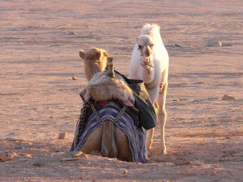 Mamá y bebé del camello fotos de archivo