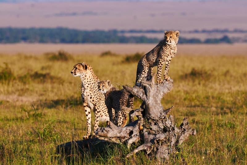 Mamá y cachorros del guepardo imagen de archivo libre de regalías