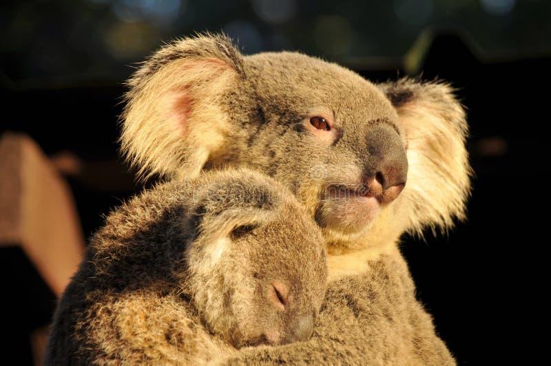 A mamã do Koala é terra arrendada seu joey do sono imagem de stock royalty free