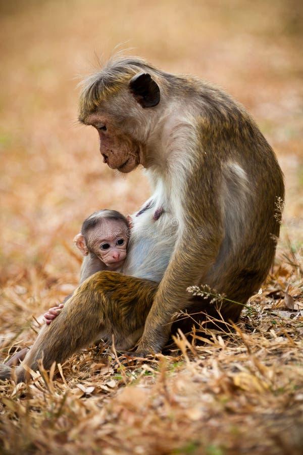 Mamã do macaco com cachorrinho do filho Macacos de macaque da capota foto de stock