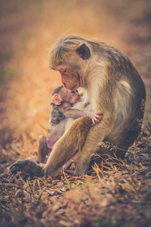 Mamã do macaco com cachorrinho do filho Macacos de macaque da capota imagens de stock royalty free