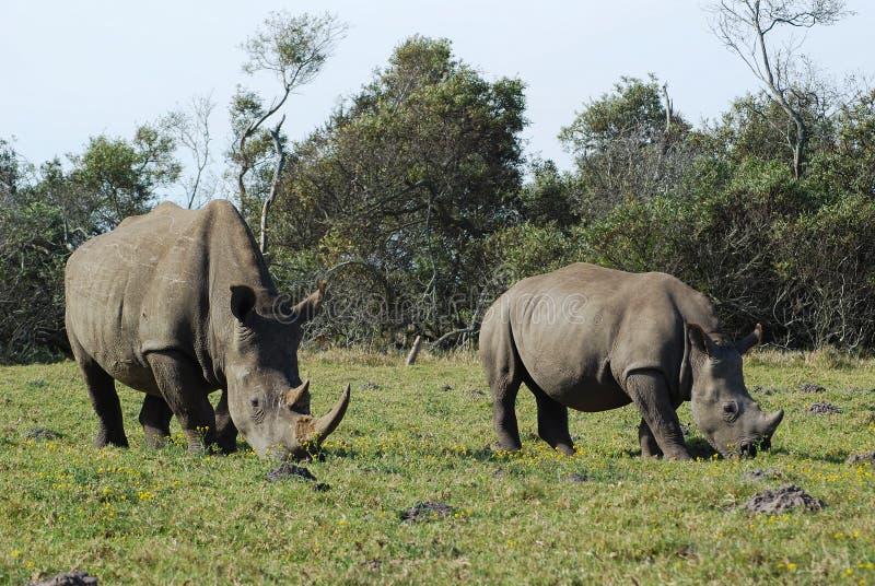 Mamã do rinoceronte com bebê fotos de stock