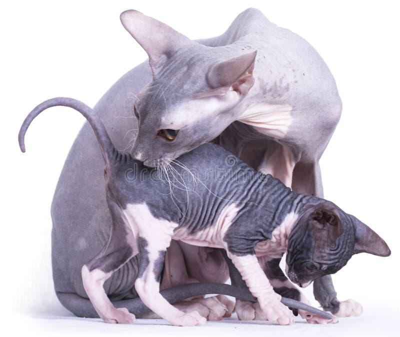 A mamã do sphinx do gato lava o gatinho imagem de stock