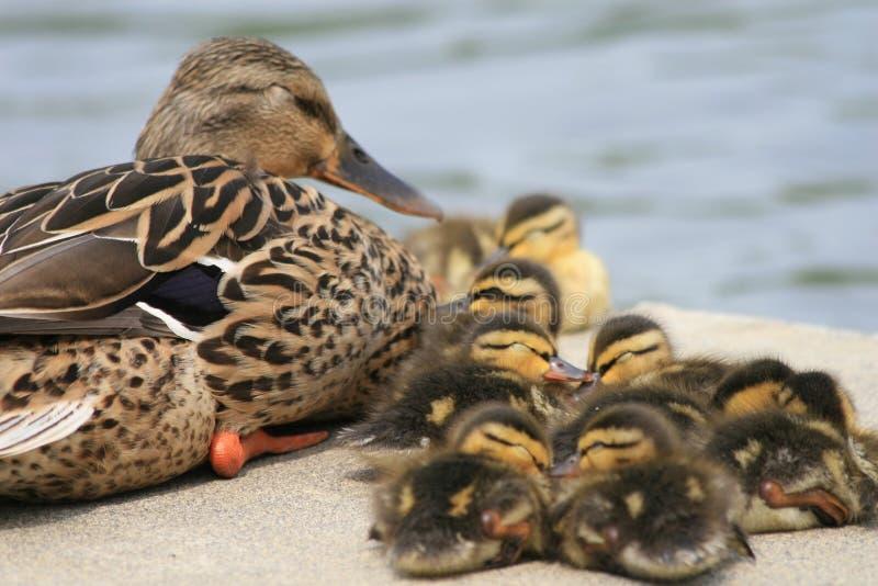 Mamã e bebês do pato selvagem imagens de stock royalty free