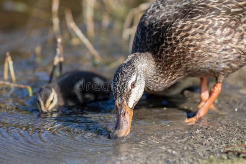 A mamãe sarapintado e o bebê do pato têm uma bebida imagem de stock royalty free