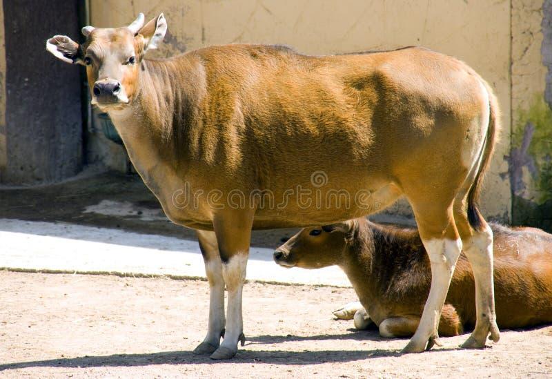 Mamífero de artiodactyl Bovid do ruminante do banteng de Bull fotos de stock