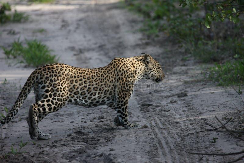 Mamífero do gato do animal selvagem do savana de Kenya África do leopardo fotografia de stock