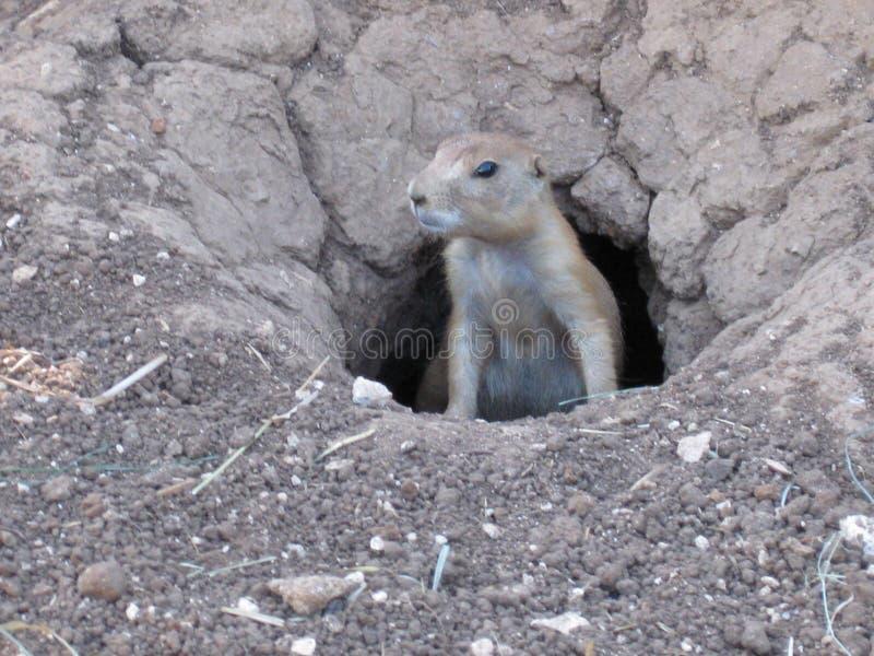 Mamífero do roedor que olha em torno de sua toca foto de stock