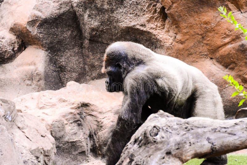 Mamífero grande Gray Adult Strong Gorilla fotografía de archivo