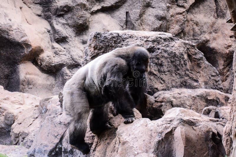 Mamífero grande Gray Adult Strong Gorilla imágenes de archivo libres de regalías