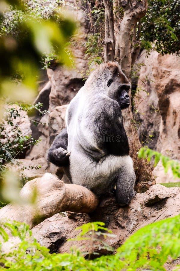 Mamífero grande Gray Adult Strong Gorilla imagen de archivo libre de regalías