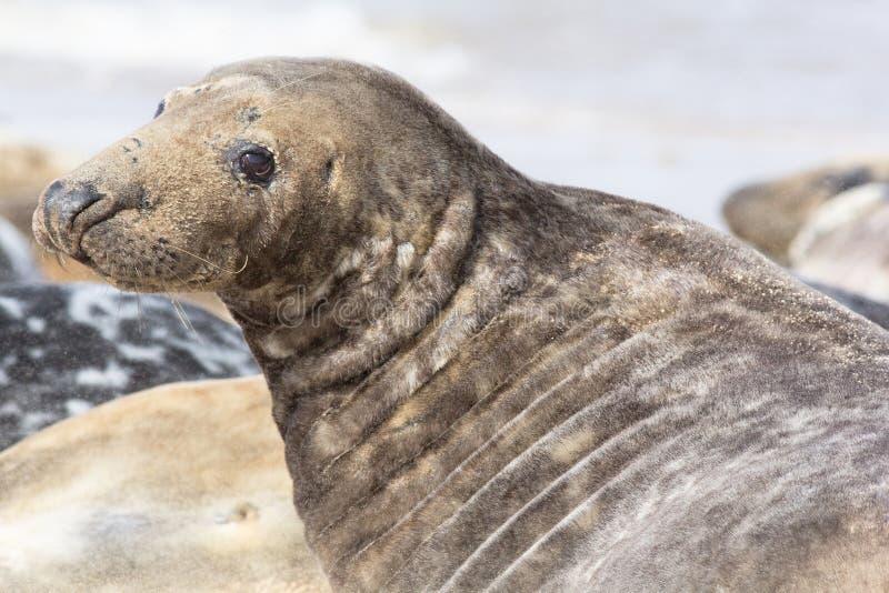 Mamífero marino del sello gris masculino grande de la colonia de caballo Reino Unido fotos de archivo