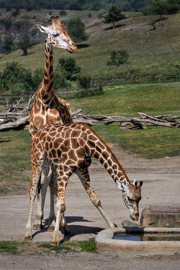 Mamíferos de los animales de las jirafas foto de archivo
