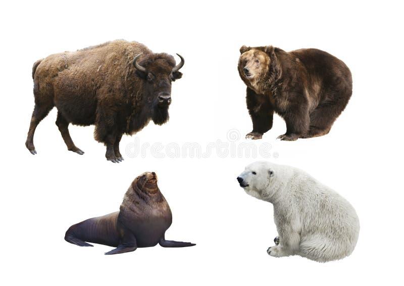Mamíferos de Rússia em um fundo branco imagens de stock royalty free